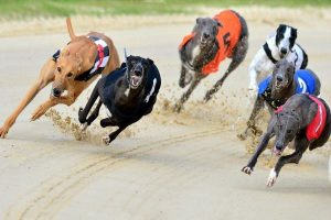 Greyhound Racing Betting Guide